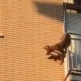 Cane dimenticato sul balcone senza cibo e acqua si lancia nel vuoto